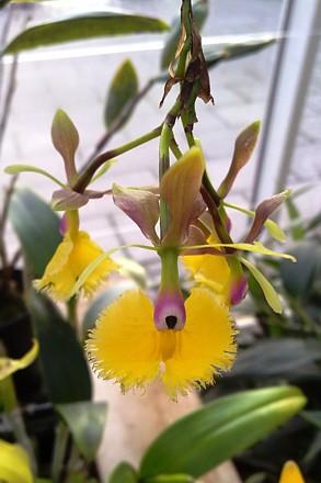 Orchid - Epidendrum 'Plastic Doll'