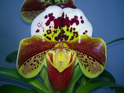 Orchid - Paphiopedilum Jupiter Hollow