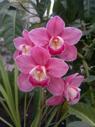 Orchid - Cym. Loch Maree gx
