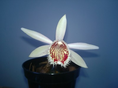 Pleione humilis 'Orange-red lip'