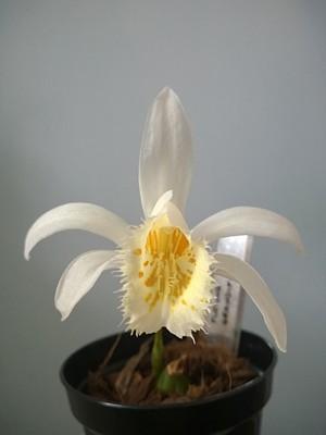 Pleione grandiflora