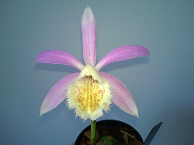 Pleione formosana 'Blush of Dawn'